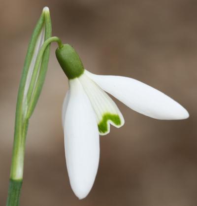 flora emslandia galanthus nivalis kleines schneegl ckchen. Black Bedroom Furniture Sets. Home Design Ideas